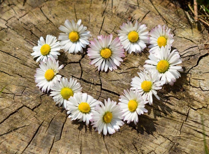 Daisy flowers love heart royalty free stock photography
