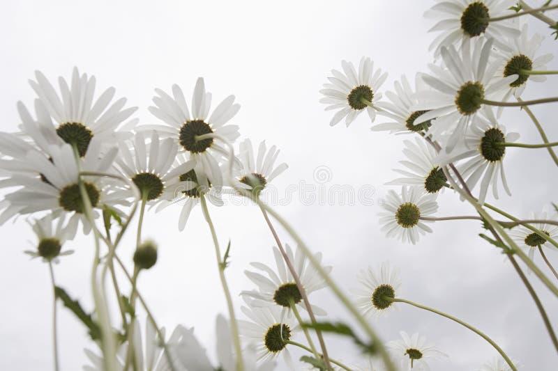 Daisy Flowers In Meadow royalty-vrije stock afbeeldingen