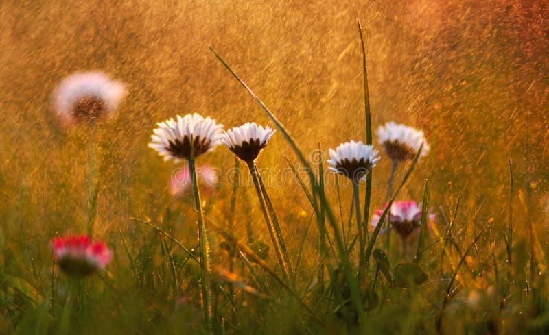 Daisy Flowers na chuva macro fotografia de stock