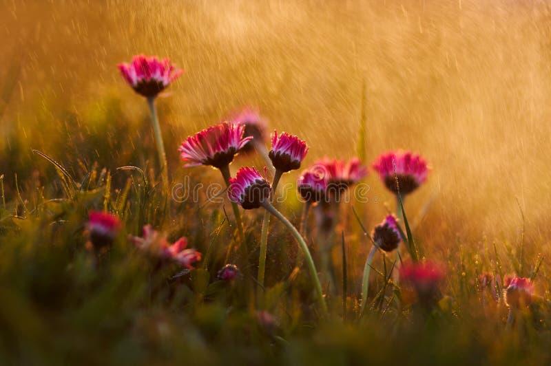 Daisy Flowers na chuva macro fotografia de stock royalty free