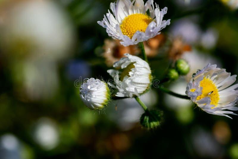 Daisy Flowers salvaje blanca floreciente en el campo de la pradera del parque del santuario Familia del Asteraceae imagen de archivo