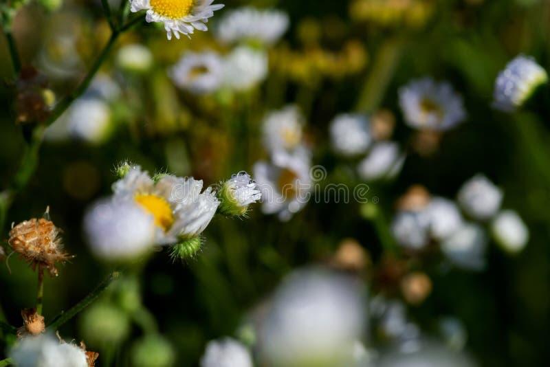 Daisy Flowers salvaje blanca floreciente en el campo de la pradera del parque del santuario Familia del Asteraceae imagen de archivo libre de regalías