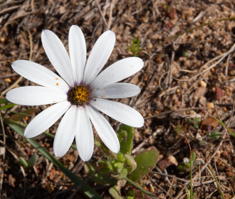 Daisy Flowers sauvage de l'Afrique du Sud photo libre de droits