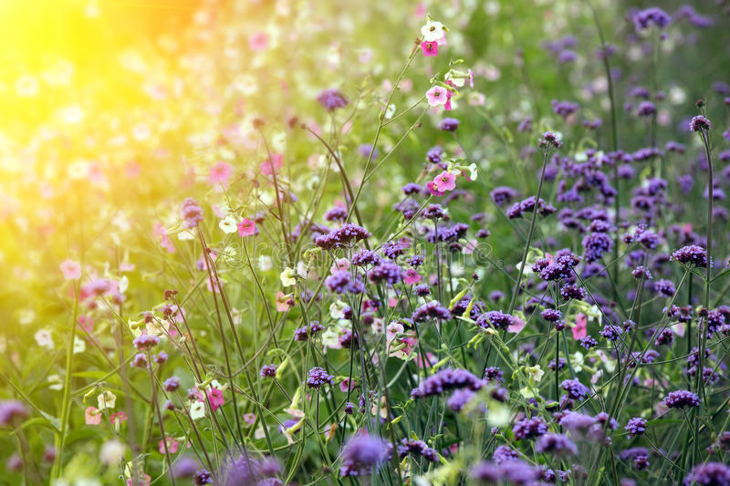 Daisy flowers. In spring at dusk royalty free stock photography