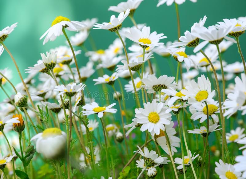 Daisy flowers on the spring meadow. Horizontal. Close-up. Daylight stock photo