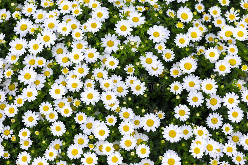 Daisy flowers. White daisy flowers in the garden royalty free stock image
