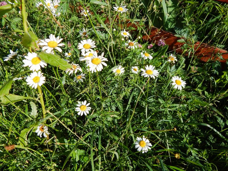 Daisy flowers with white petals and yellow center close-up stock image