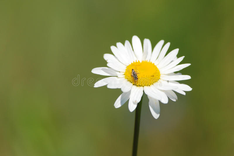 Daisy and a fly. A fly on a daisy flower royalty free stock photo