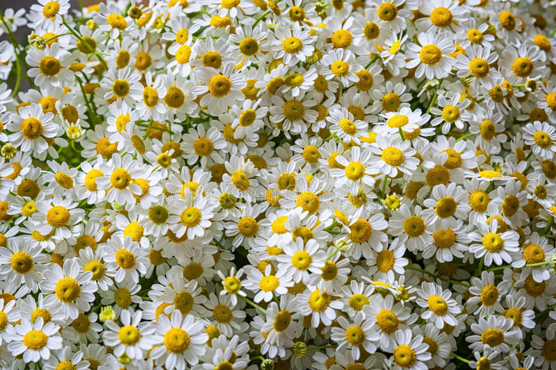 Daisy fowers royalty free stock images
