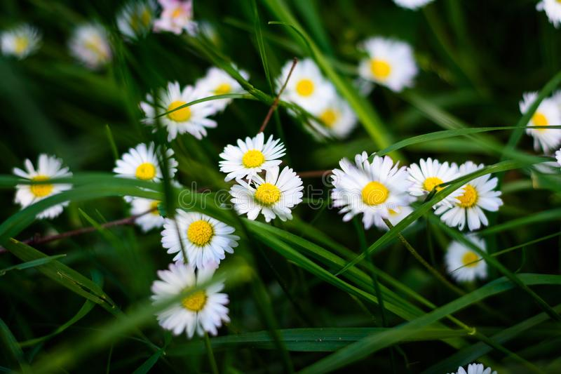 Daisy in a fresh field of flowers royalty free stock image