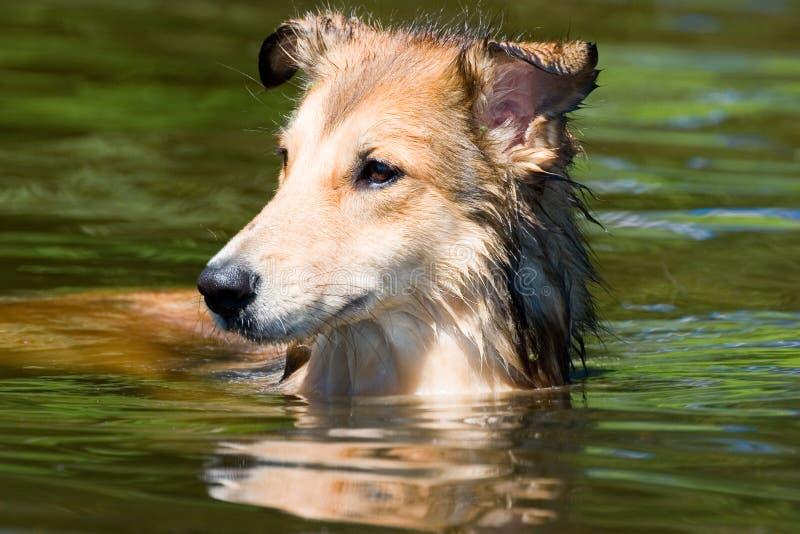 Daisy gaat want zwem stock foto