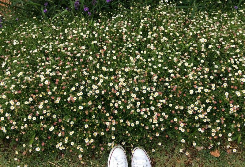 Daisy Garden photo stock