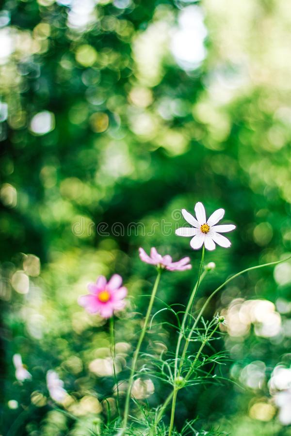 Daisy garden - gardening, flowers and nature styled concept. Elegant visuals royalty free stock photos