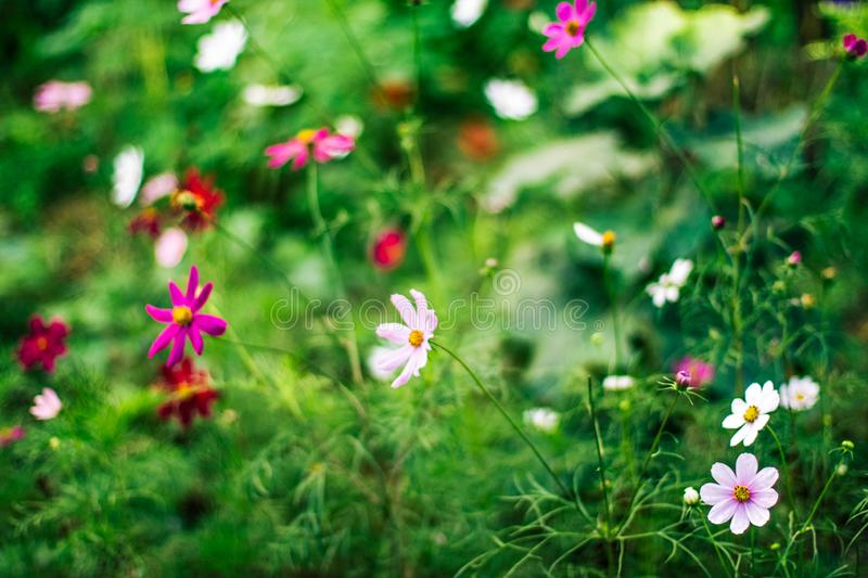 Daisy garden - gardening, flowers and nature styled concept. Elegant visuals stock photos