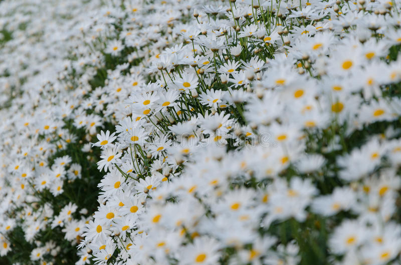 Daisy. The garden of white daisies stock images