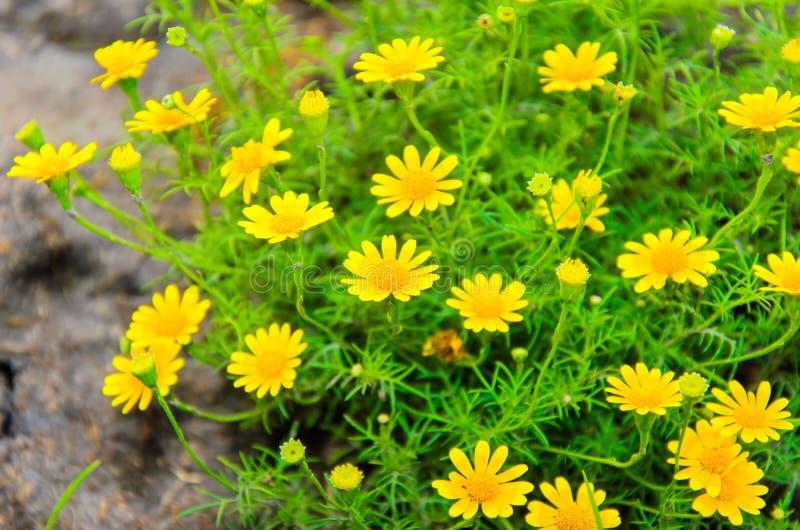 Daisy gele bloemen stock afbeeldingen
