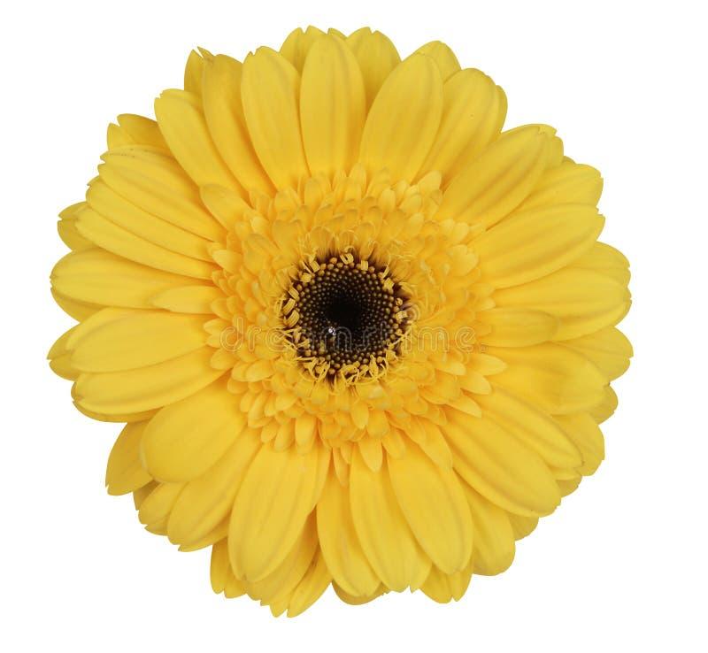 daisy gerber żółty fotografia stock