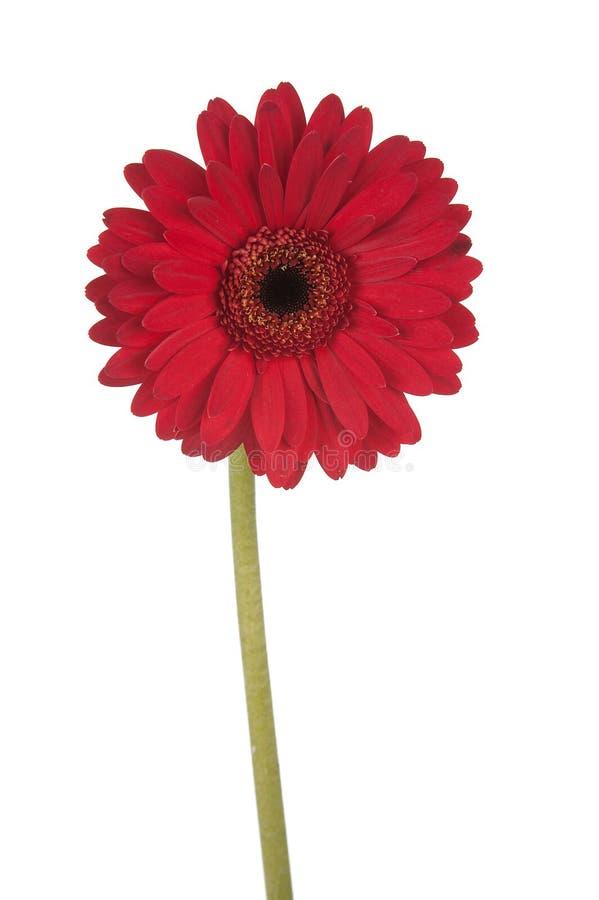 daisy gerber czerwony wysoka zdjęcia stock