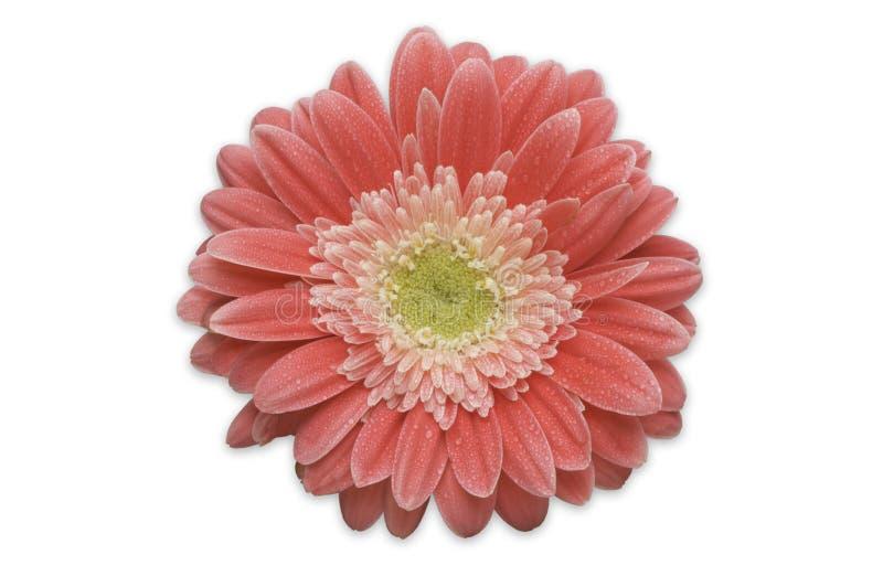 daisy gerber odizolować różowy obraz royalty free