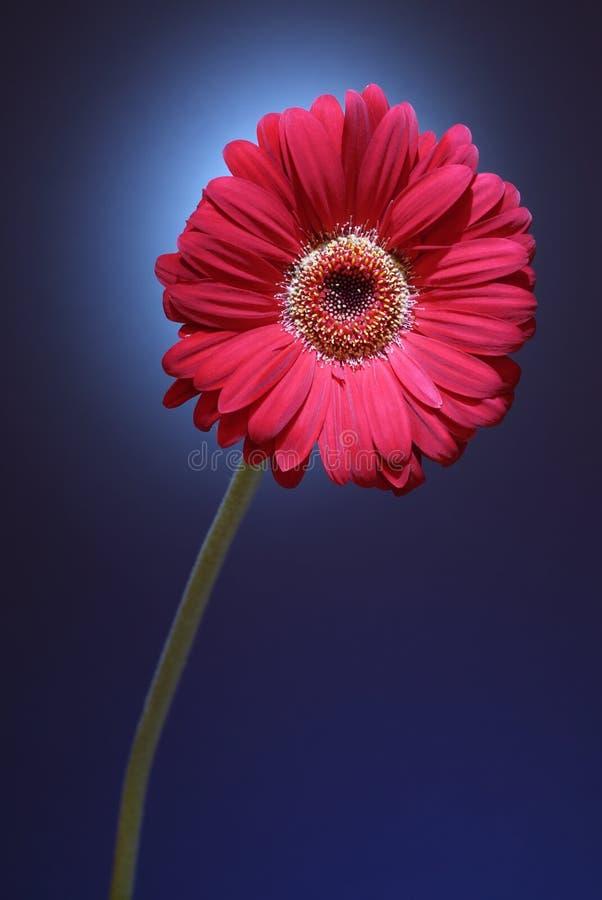 daisy gerber różowy zdjęcie stock