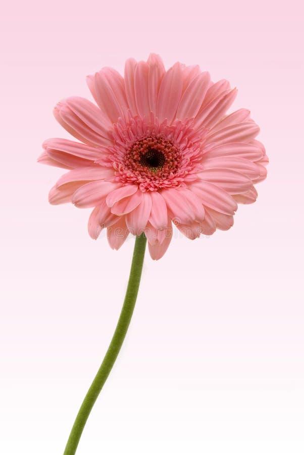 daisy gerbera zdjęcie stock