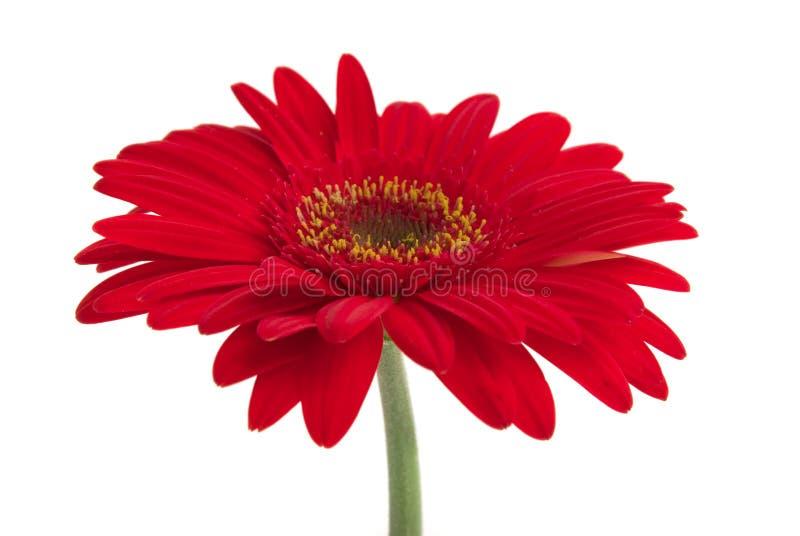daisy gerbera obraz stock