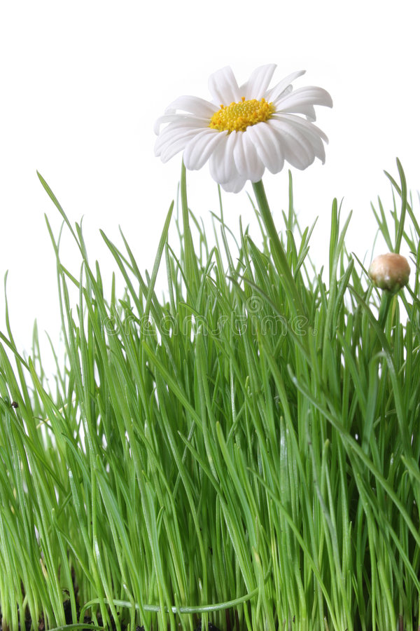 Download Daisy and Grass stock image. Image of flowering, lawn - 1421603