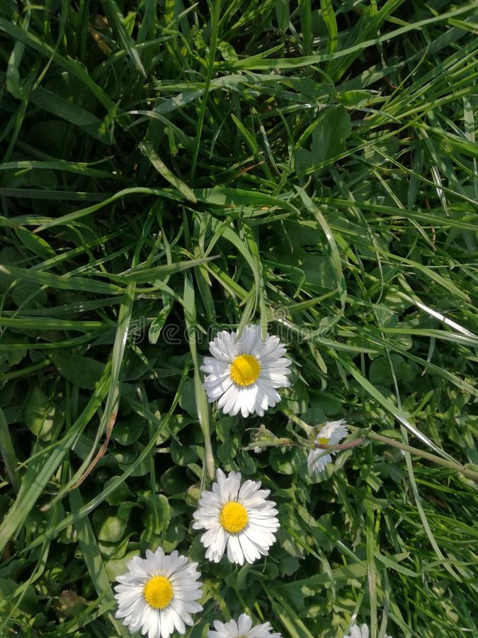 Daisy in the grass stock images