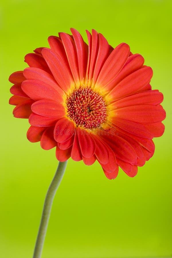 daisy green obraz royalty free
