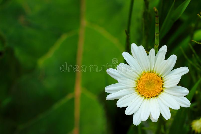 Daisy on green background royalty free stock photos
