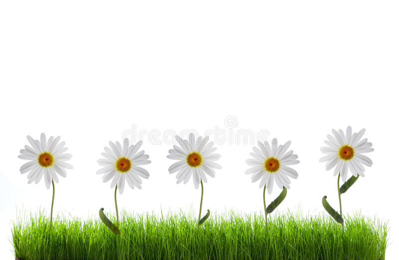 Download Daisy in green grass stock image. Image of floral, flora - 24172479
