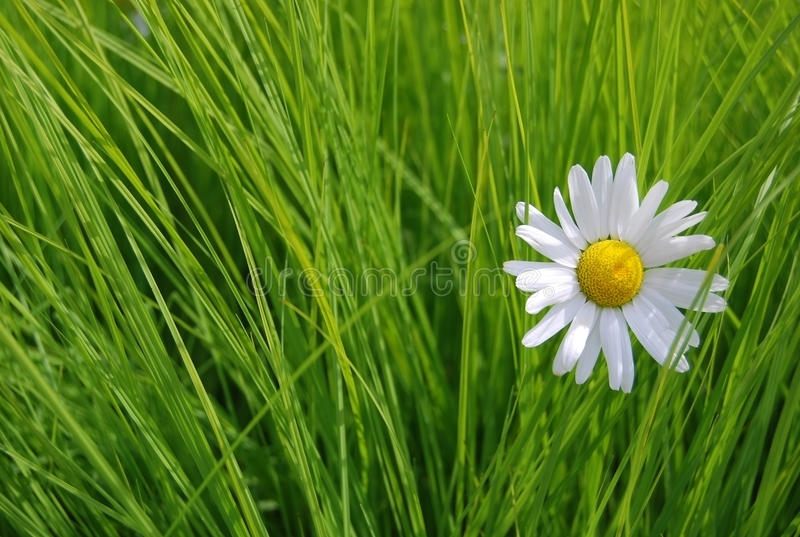 Daisy on the green grass background royalty free stock images