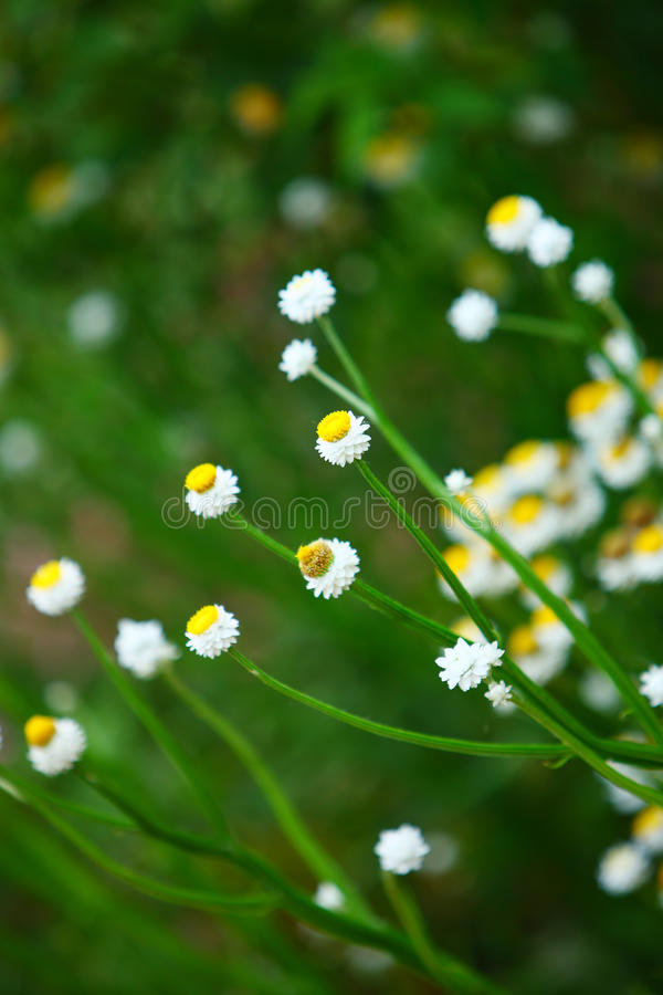 Daisy in spring. The daisy grows in the spring gardens stock image