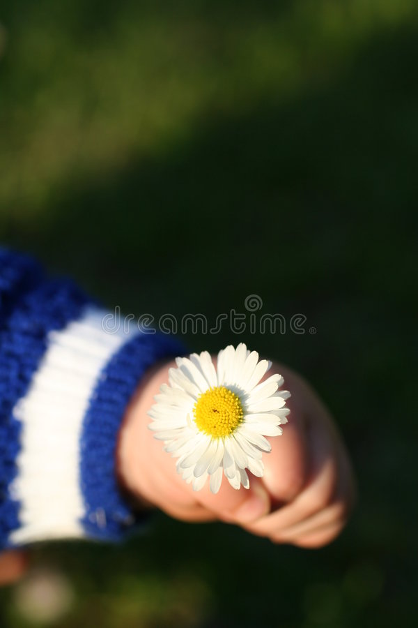 Daisy in hand royalty free stock image