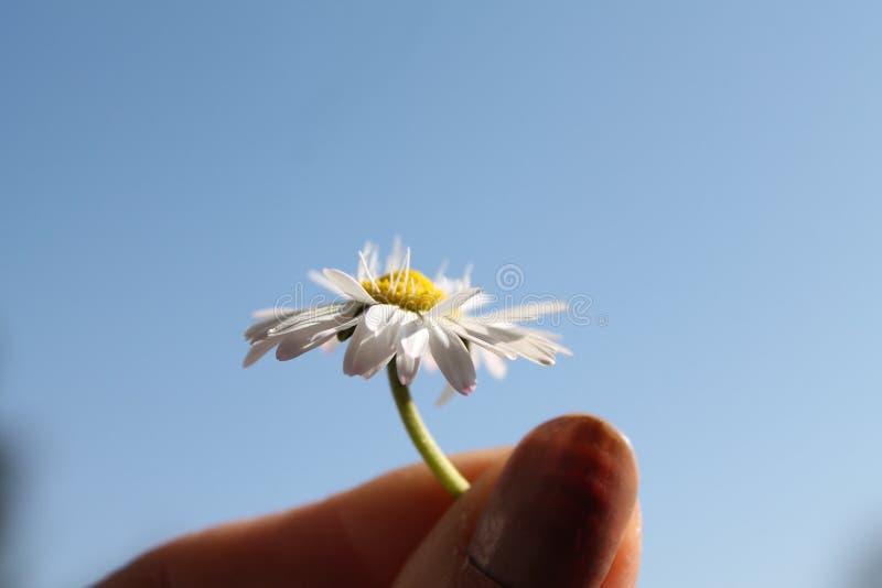 Daisy het groeien stock fotografie