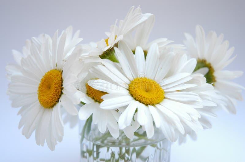 daisy ii obrazy royalty free