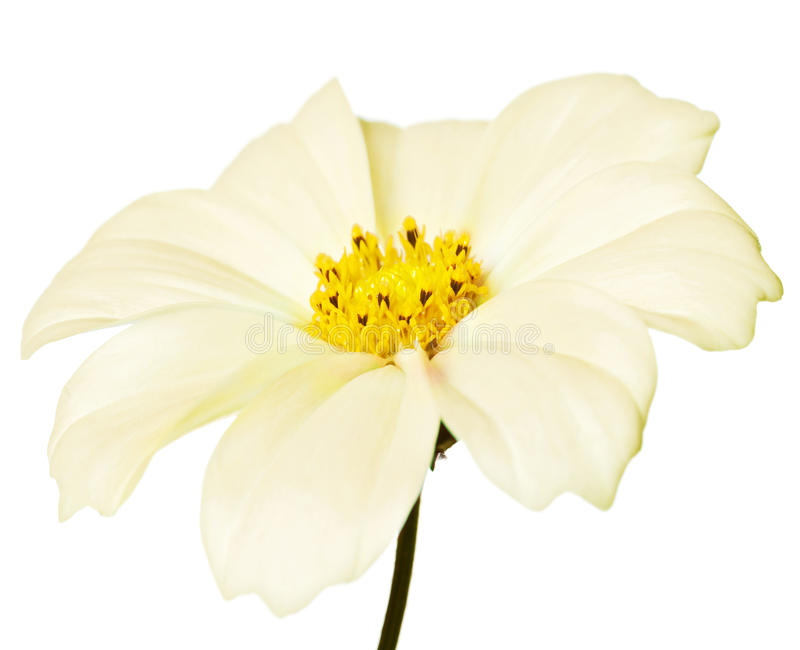 Download Daisy Isolated Royalty Free Stock Images - Image: 10795729