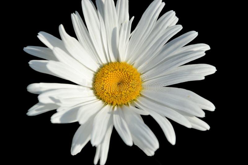 Daisy Isolated On Black Background blanca imagen de archivo
