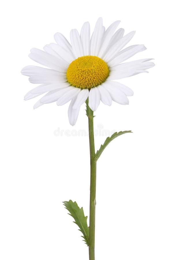 Free Daisy Isolated On White Royalty Free Stock Photo - 41056025