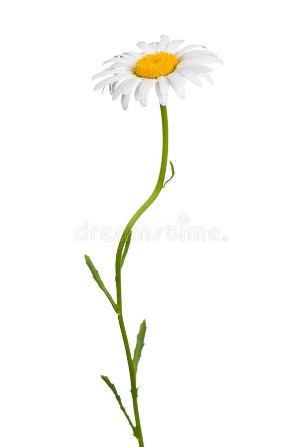 Daisy stock photos