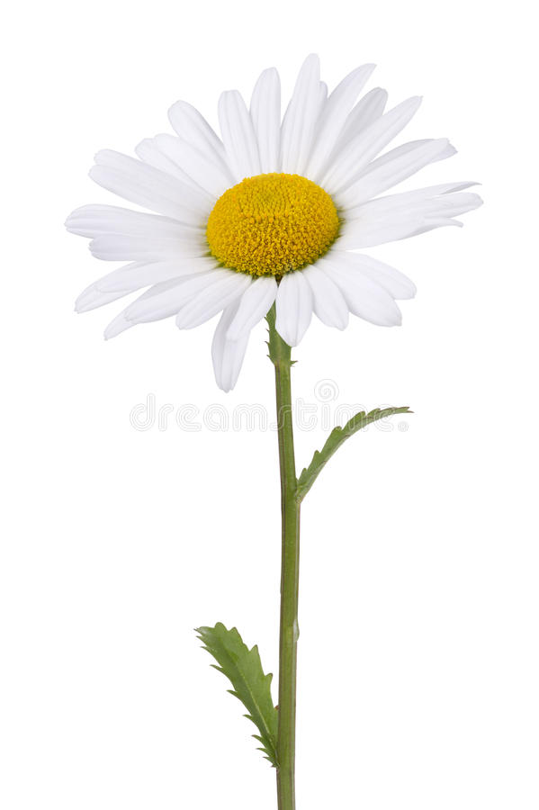 Daisy isolated on white royalty free stock photo