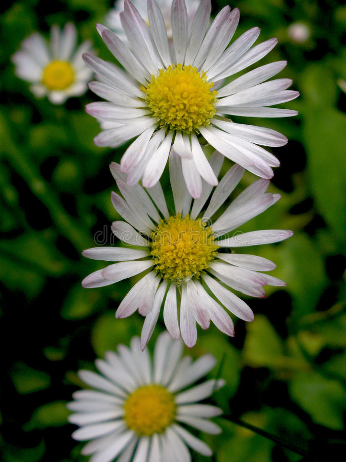Daisy IV. Little and delicate daisy flowers royalty free stock photography