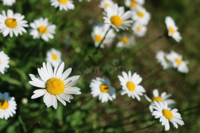 Daisy and jasmine bush in summer. Various objects of the summer season in the best of this wonderful period stock photo
