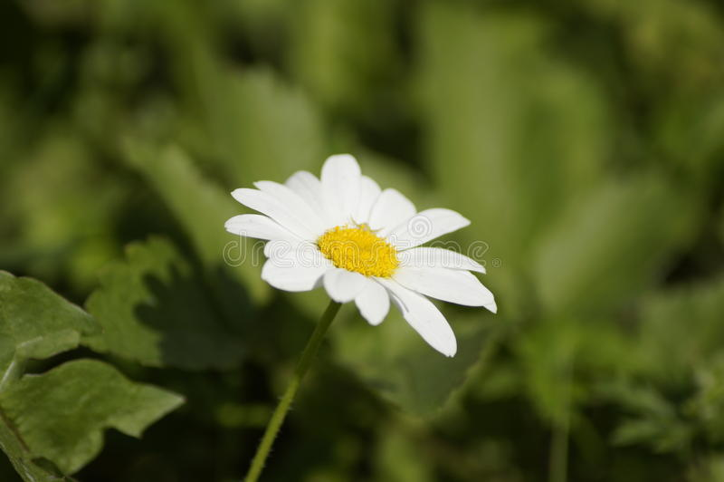 daisy jeden biały fotografia stock