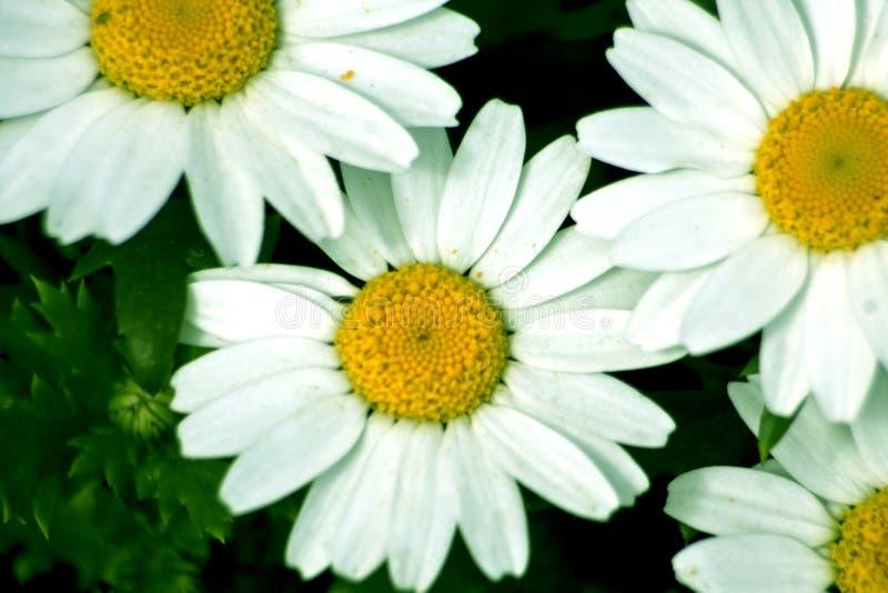 Daisy kamillebloem Daisy bloem, Papatya stock fotografie