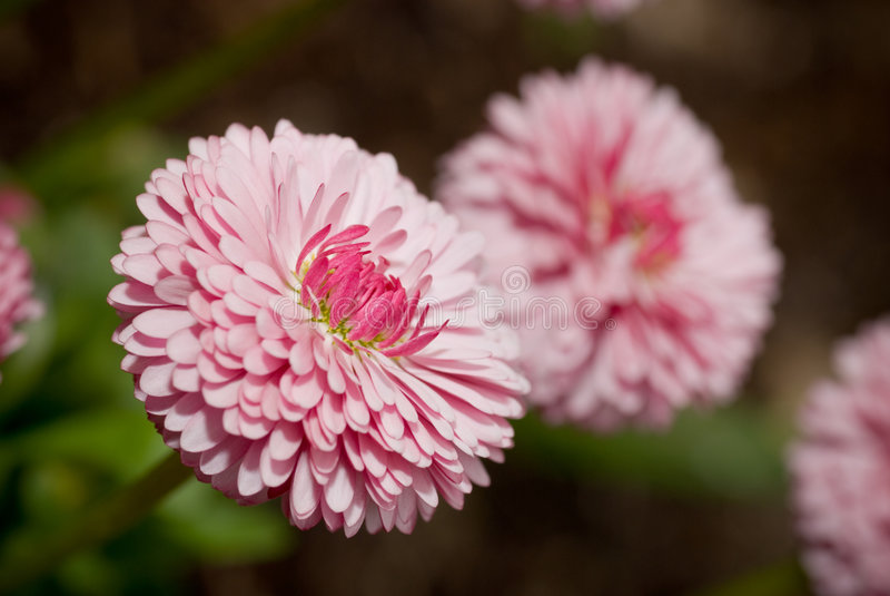 daisy kwiat zdjęcie royalty free