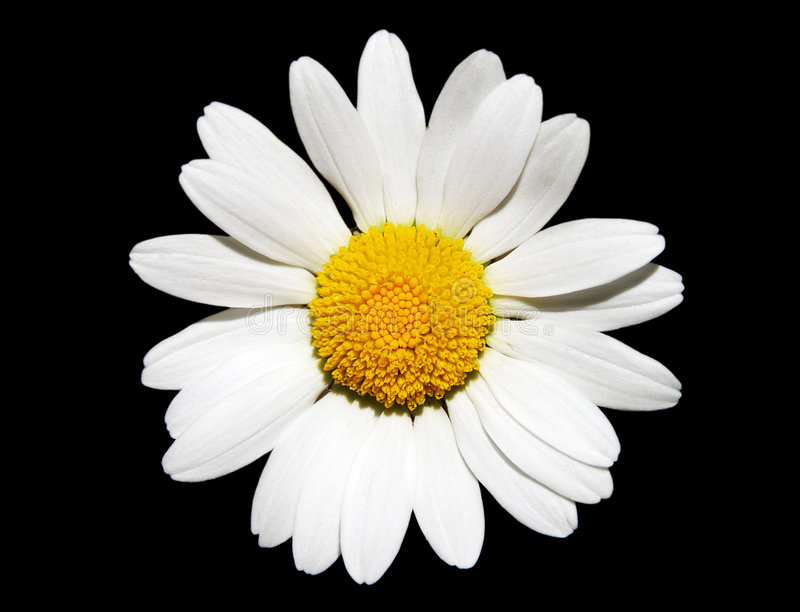 daisy kwiat white obrazy royalty free