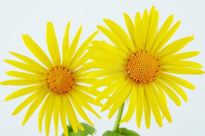 daisy kwiaty zdjęcie stock
