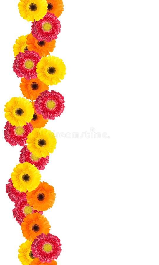 daisy kwiaty zdjęcie royalty free