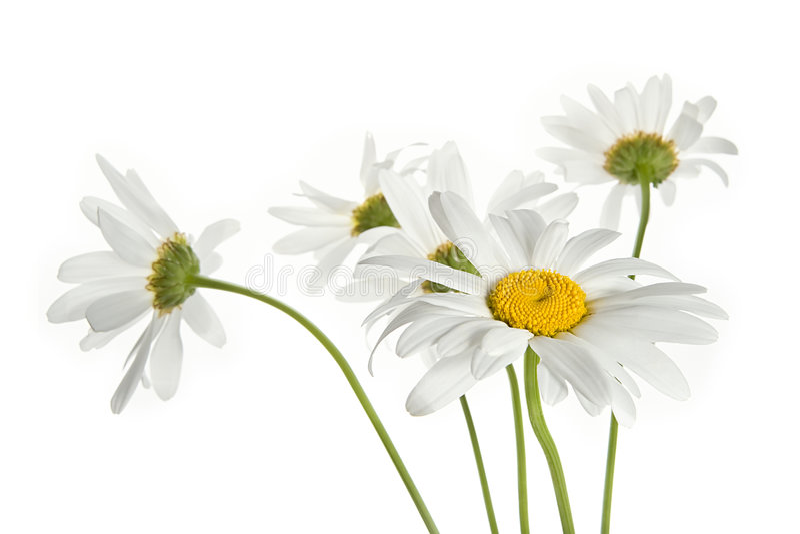 daisy kwiaty zdjęcia stock
